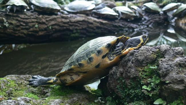 Черепаха на камнях